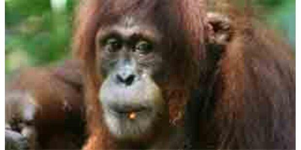 Orang-Utan wollte Frau Kleider vom Leib reißen