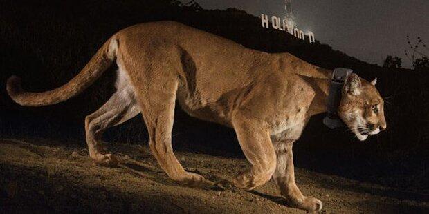 Jogger erwürgt Puma mit bloßen Händen