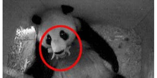 Panda-Mama hungert für Baby