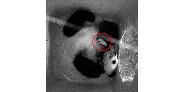 Pandababy ist neuer Medien-Star