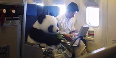 Hier fliegt ein Panda in der Business Class