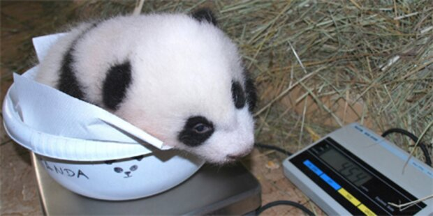 Panda-Wahl: Mein Name ist Fu Hu