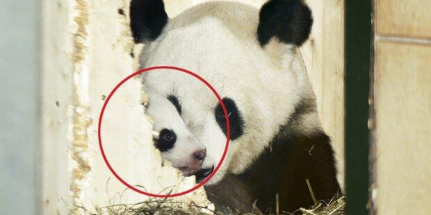 Pandababy zeigt sich der Öffentlichkeit