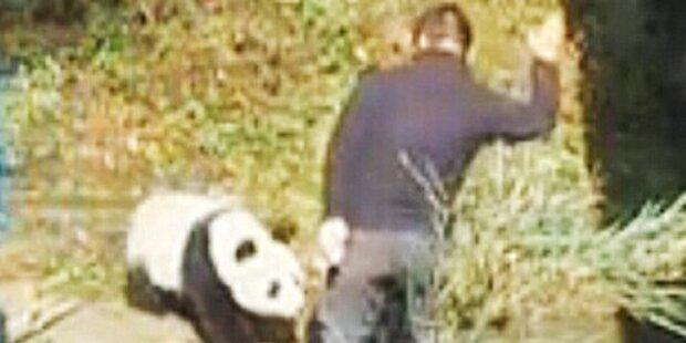 Wärter schlägt wehrlosen Panda