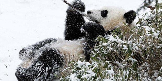 Killer-Virus tötet nächsten Panda