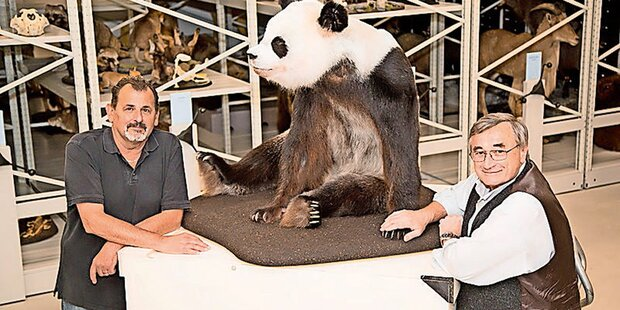 Toter Wiener Panda kehrt nach China heim