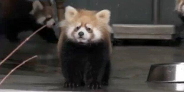 Süßer Baby-Panda gerät in Panik