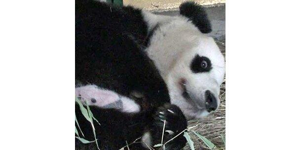 1. Ausflug von Pandamutter und Baby