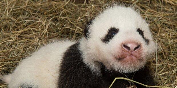 Panda-Baby ist Star im Zoo