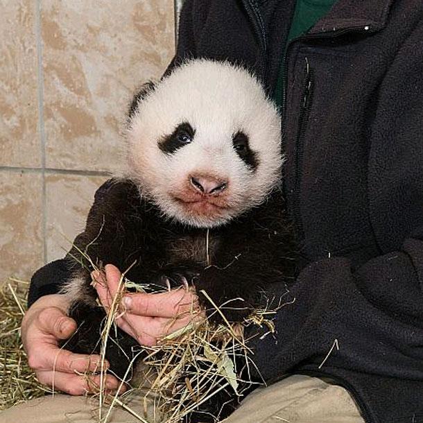 Panda-Baby in Schönbrunn