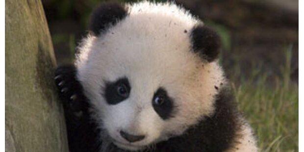 Panda-Bären in China droht Hungersnot