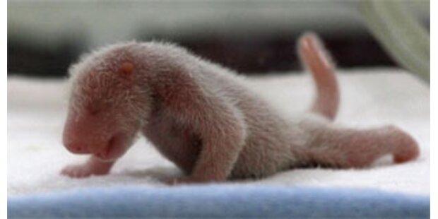 Panda-Zwillinge beglücken China