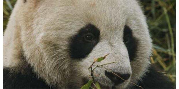 Panda in letzter Sekunde gerettet