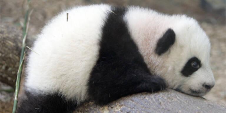 Panda in Thailand muss abspecken