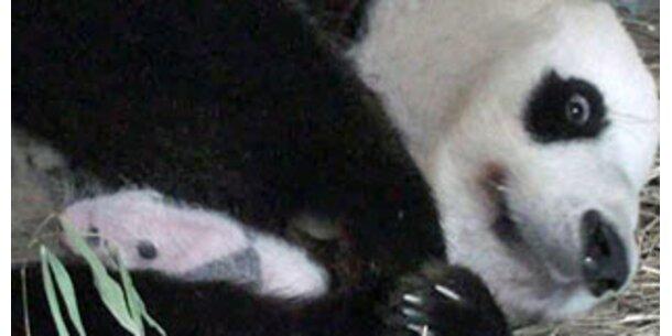 Der ORF startet Panda-TV