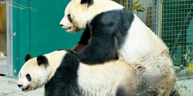 Fahrplan zum Panda-Baby