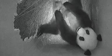 panda_apa