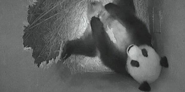 Schönbrunn: Panda-Baby gedeiht prächtig