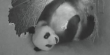 panda_baby_440x220