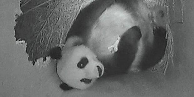 Panda-Mama lässt Junges erstmals alleine