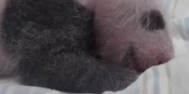 Babypanda ist ein Daumenlutscher