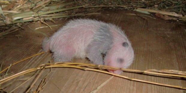 Schönbrunner Panda-Baby ist ein Bub