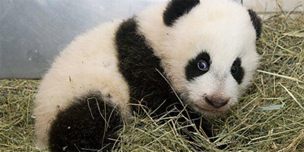 Panda-Baby Fu Hu verschläft eigene Taufe