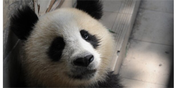 Panda biss Zoobesucher krankenhausreif