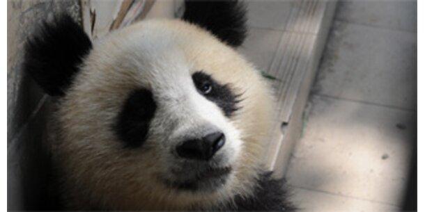 Darum sind Pandas Sex-Muffel
