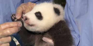 panda_san_diego