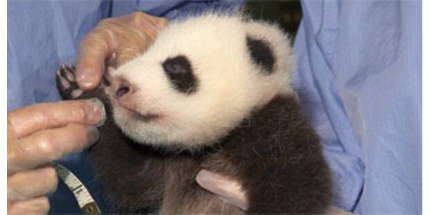 Österreich im Panda-Fieber