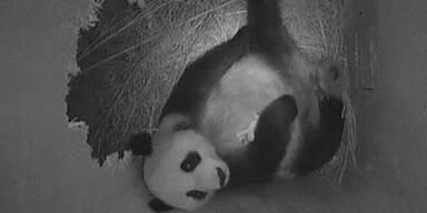 Wiens Panda-Baby hat Riesen-Appetit