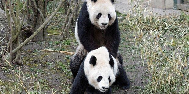 Schönbrunn: Pandas haben sich gepaart