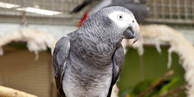 Papagei bestellte bei Amazon