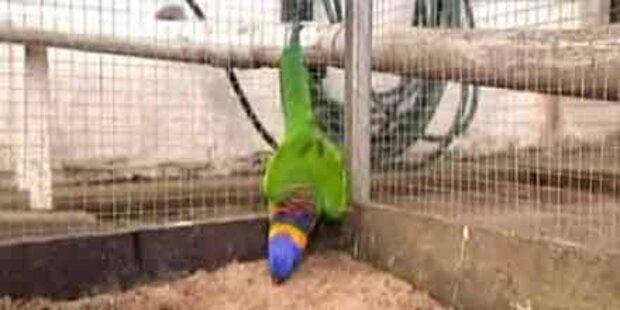 Besoffene Papageien geben Rätsel auf
