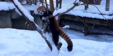 Roter Panda genießt den Schnee!