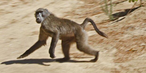 Affe entführt Zweijährigen
