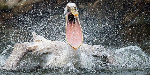 Weltweite Trauer um unsere Pelikane