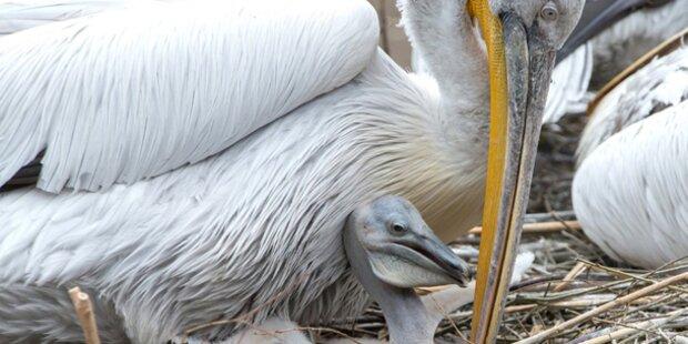 Pelikan-Nachwuchs in Schönbrunn