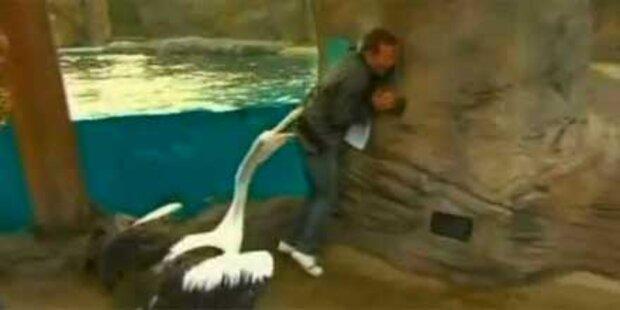 Pelikan beißt Moderator in den Hintern