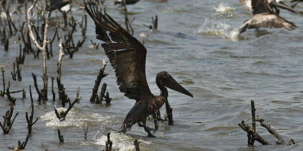 Ölpest kostet hunderte Tiere das Leben