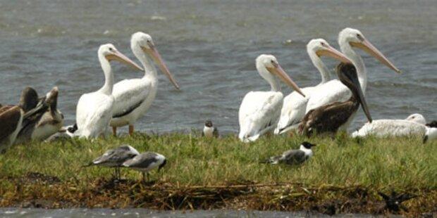 Irre schlachten dutzende Pelikane ab