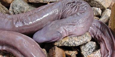 Penis Schlange
