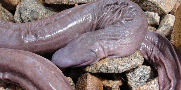 Neu entdecktes Tier sieht wie Penis aus