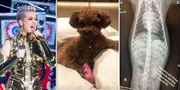 Herzstillstand! Drama um Katy Perrys Hund in Wien