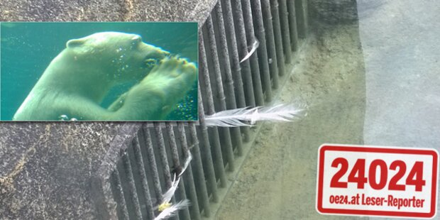 Zoo Schönbrunn: Eisbär verschlang Pfau