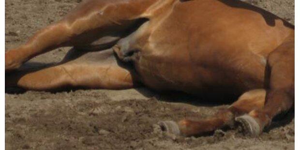 Pferderipper tötet Hengst