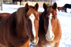pferde_winter_290_sxc