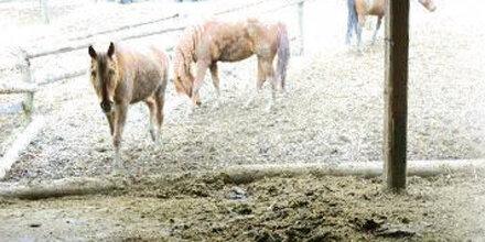 Zwei herrenlose Pferde eingefangen