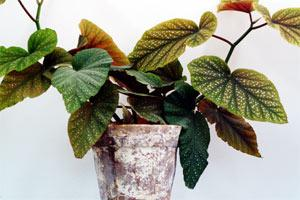 philodendron.jpg